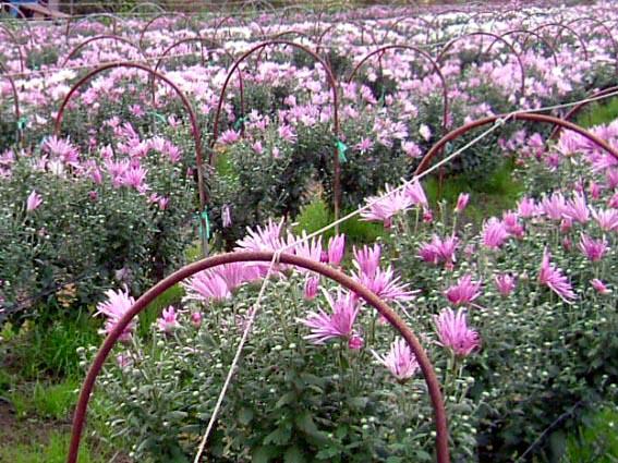 食用菊「かきのもと」畑画像